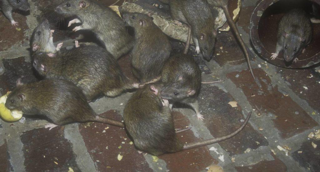 уничтожение крыс в Нижней Тавде